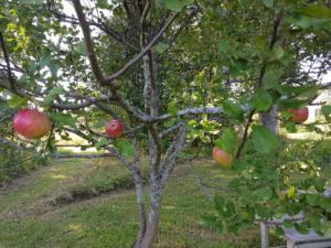 Abelites Paradies Apfelbaum (1)